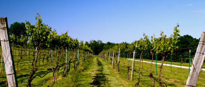 Robller Winery Vineyard